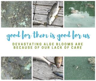 algae blooms