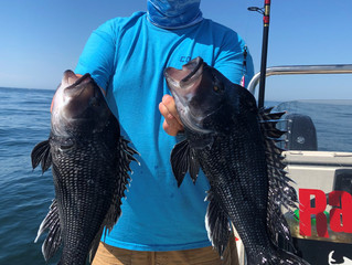 Sea Bass Limit & Shallow Water Fluke