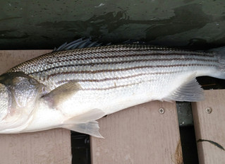 First Early Season Striped Bass