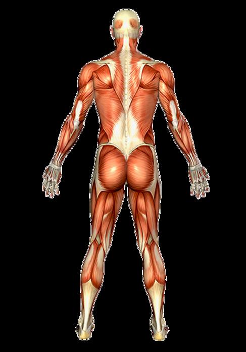 Male back orgnianal anatamy .png