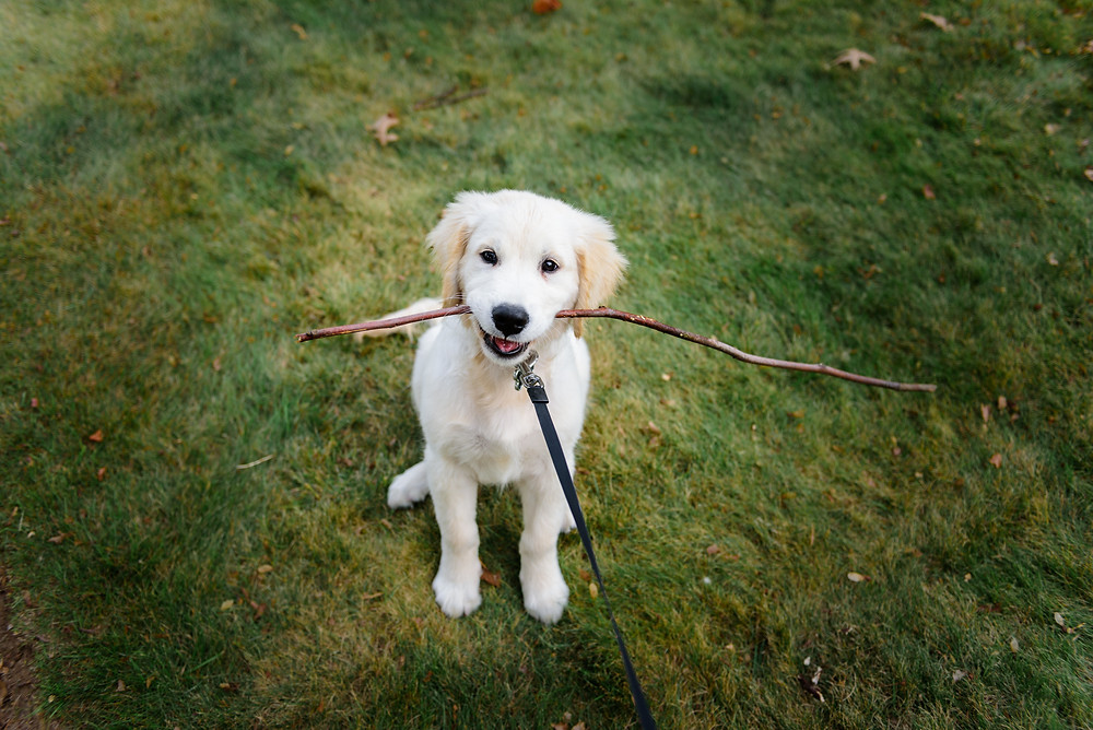 Three month old english creme golden retriever puppy named Buddy sitting in the grass holding a stick.