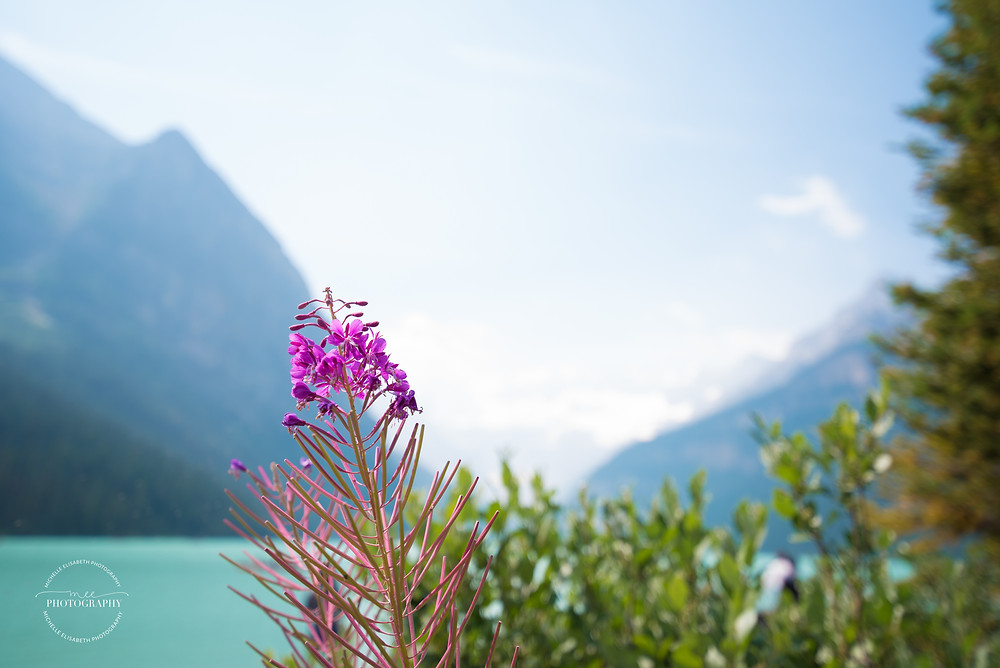 A purple flower at Lake Louise in Canada's national parks.