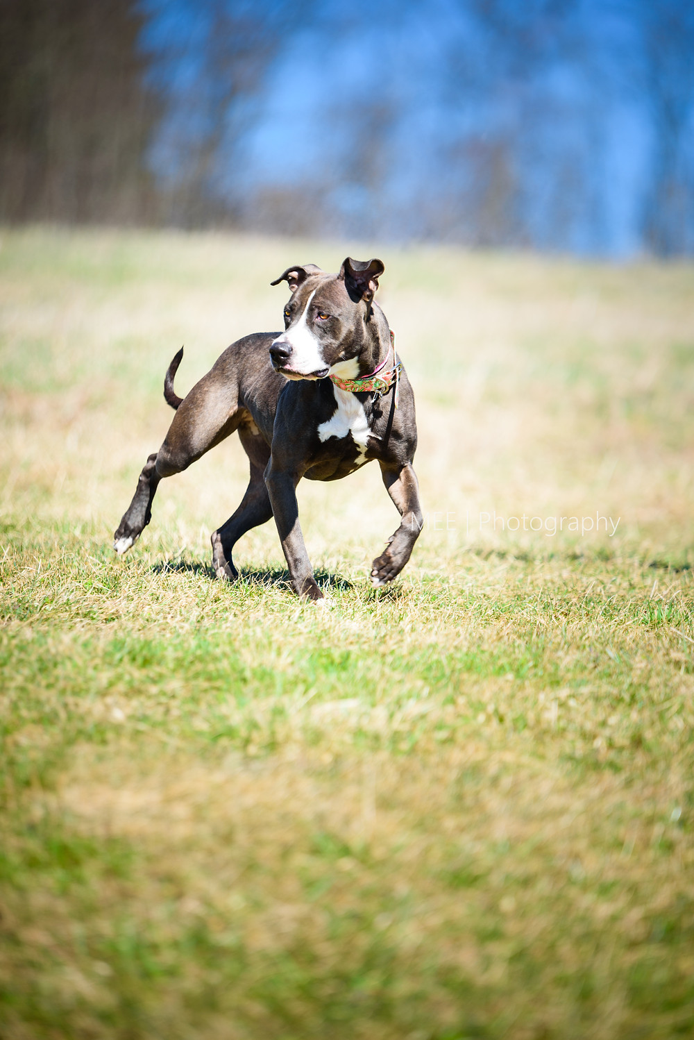 A mixed pit bull breed dog available for adoption at the Hancock County Animal Shelter in New Cumberland, West Virginia. Dog pictured having fun outside in a field.