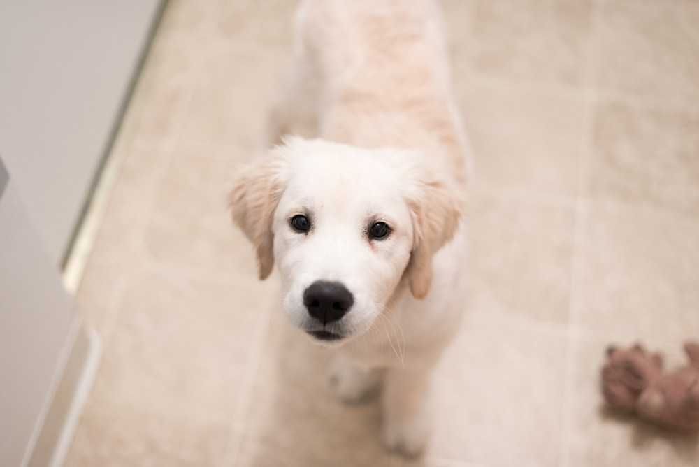 Buddy the three month old english creme golden retriever puppy looking at the camera.