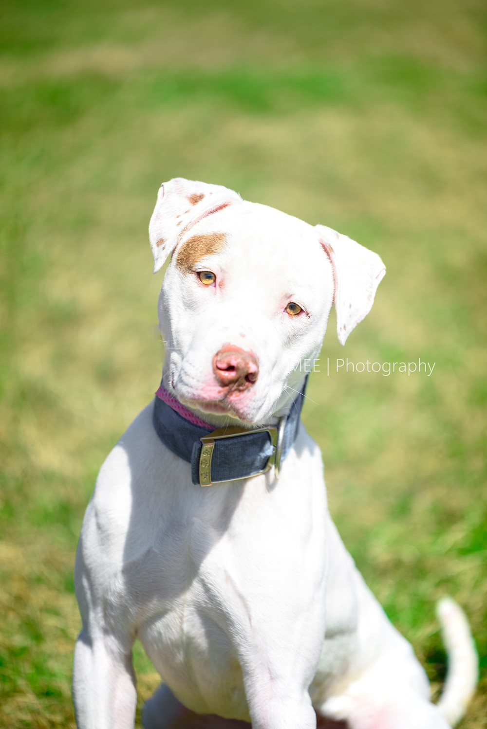 A charming white pit bull available for adoption at the Hancock County Animal Shelter.