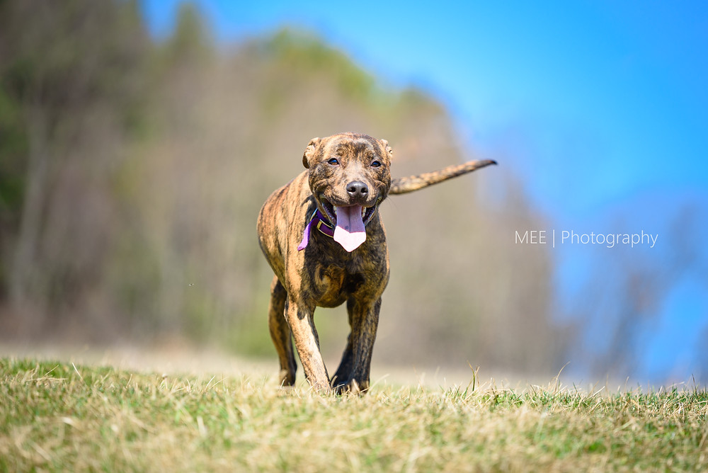 Dog available for adoption at the Hancock County Animal Shelter. Dog pictured frolicking in a field on a sunny day.