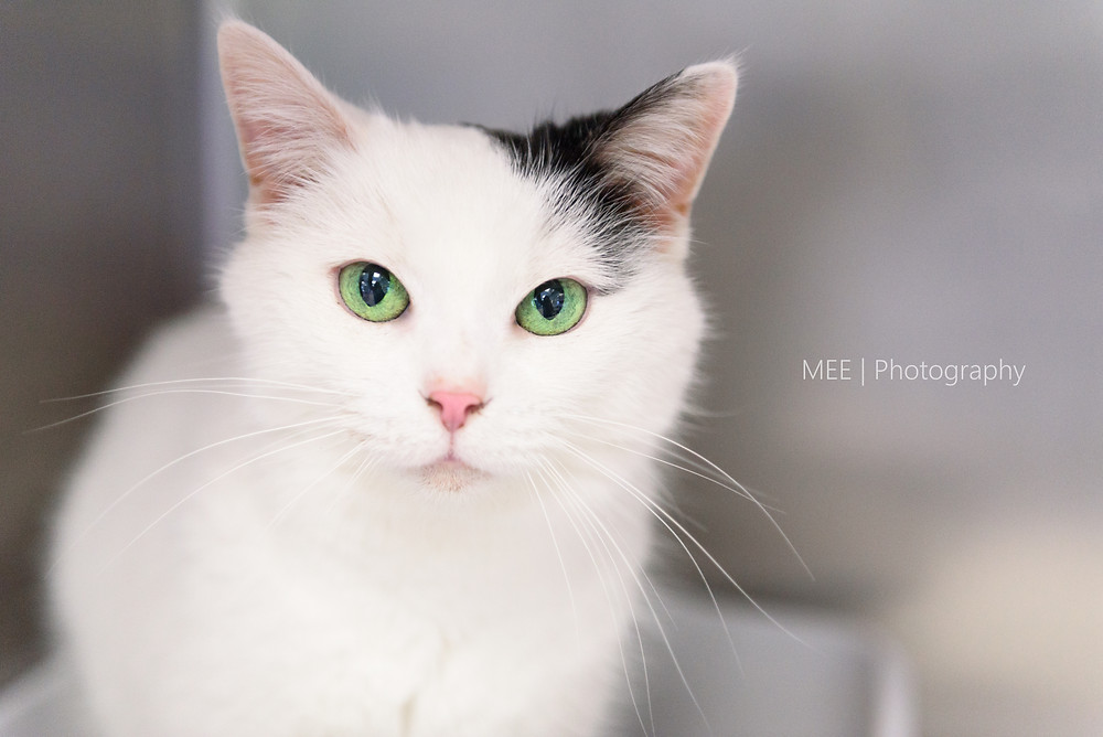 A sweet cat with gorgeous green eyes and a white coat available for adoption at the Hancock County Animal Shelter.