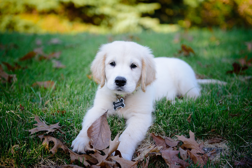 Eight week old english creme golden retriever puppy named Buddy sitting in the grass.