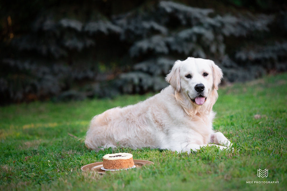 One year old english creme golden retriever puppy celebrating his first birthday