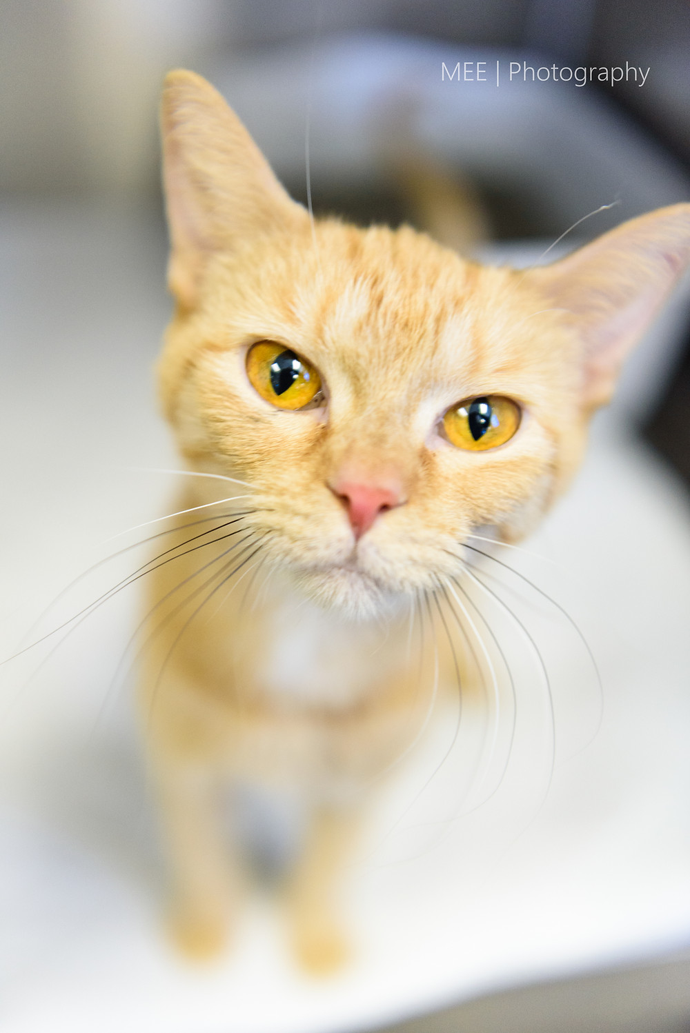 A sweet tabby cat with gorgeous gold eyes and an orange coat available for adoption at the Hancock County Animal Shelter.