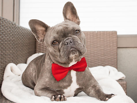 Frenchbulldogwithbowtie-5fb0cbcbc29b4386