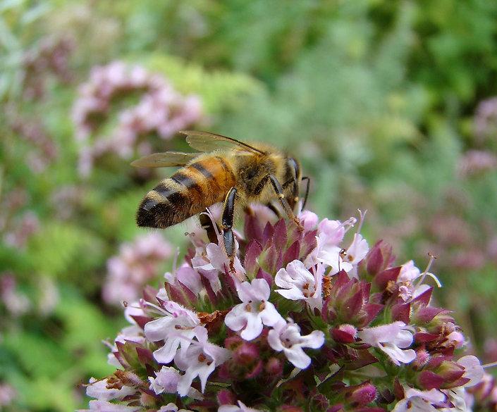 bee on thyme.jpg