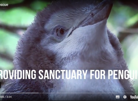 Penguin Rescue, Protecting Endangered Yellow-eyed Penguins