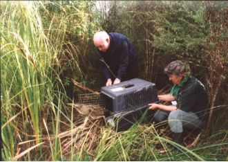 Releasing Bittern at Tasman Wetlands