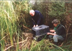 Releasing Bittern at Tasman Wetlands