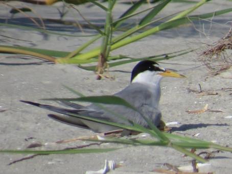 Least Terns on St. Simons Island