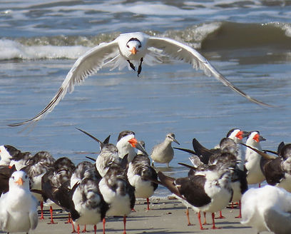 Knots and terns.jpg
