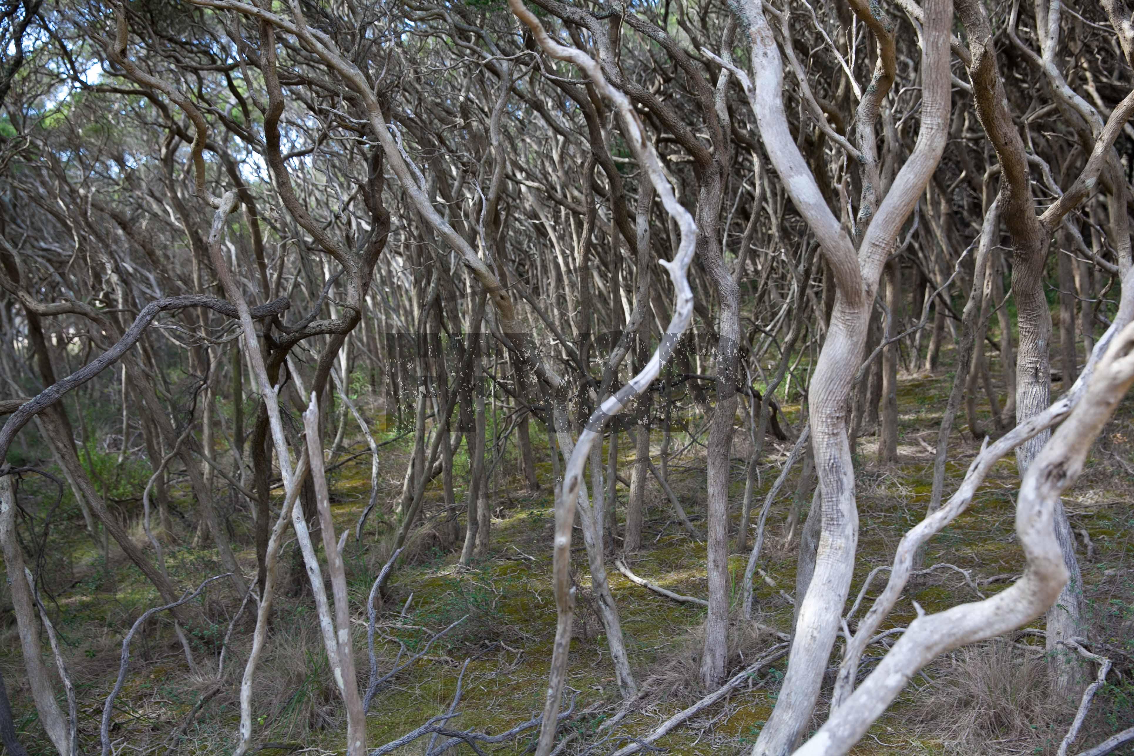 moonah forest FFV&P