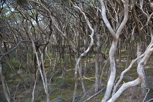 Moonah Forest