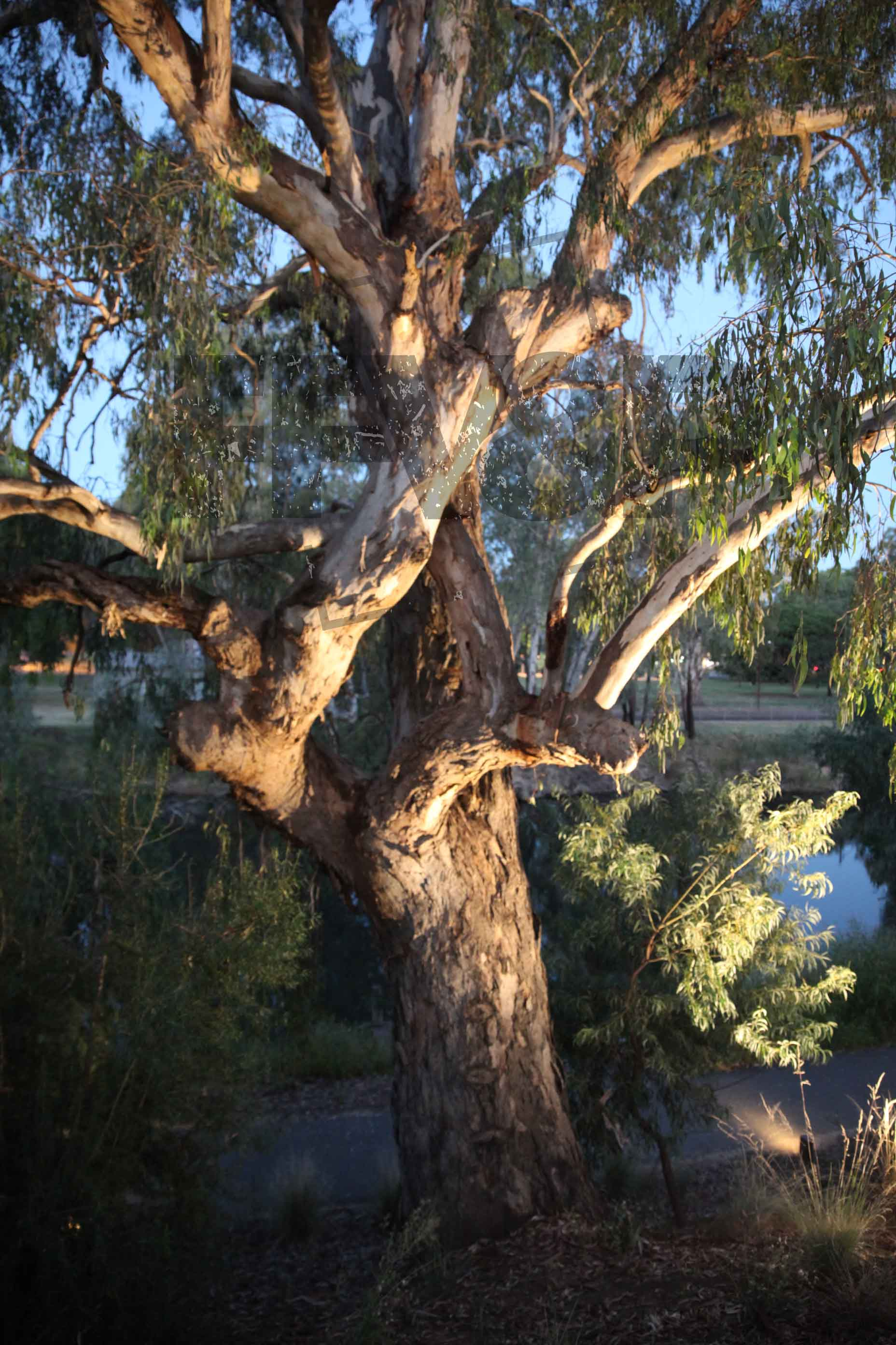 Gum tree on the murray