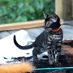 -Orange-Collar-Charcoal-Bengal-Female-IM