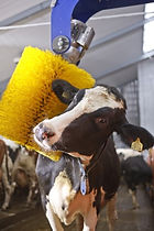 Cow Brush_2.jpg