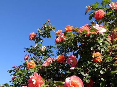 roses_2020-05-14_12-08-53.jpg