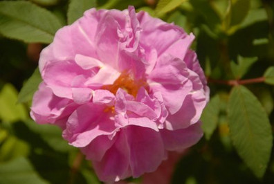 rose therese beugnet.JPG