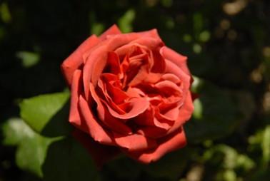 rose terra cotta.JPG