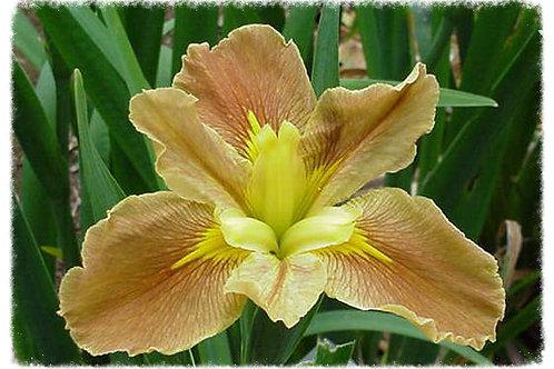 Iris Louisiana 'Hordern's Henry'