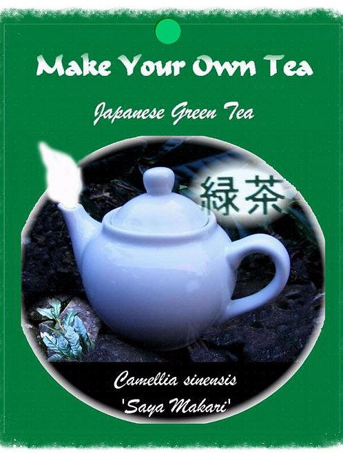 Camellia sinensis 'Saya-makari'