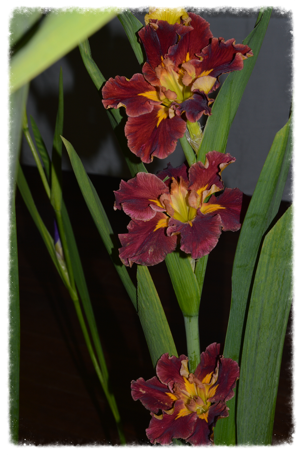 2017 ANNUAL NSW IRIS SOCIETY SHOW