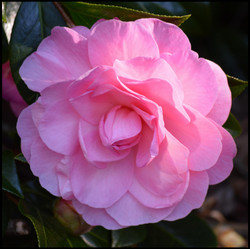 NSW Camellia Research Society