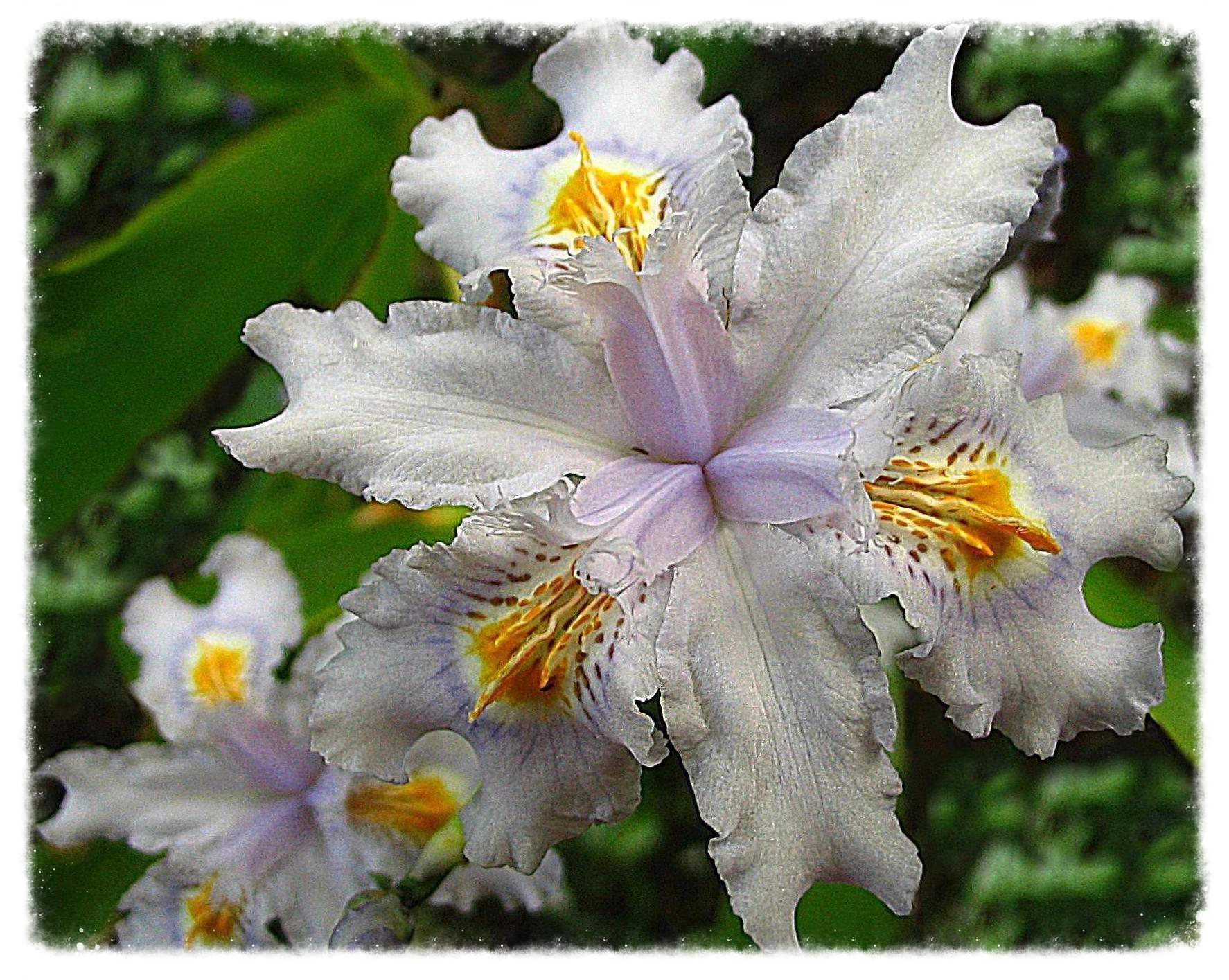 Iris evansia hybrid 'Tomah Smiles'_edited.JPG
