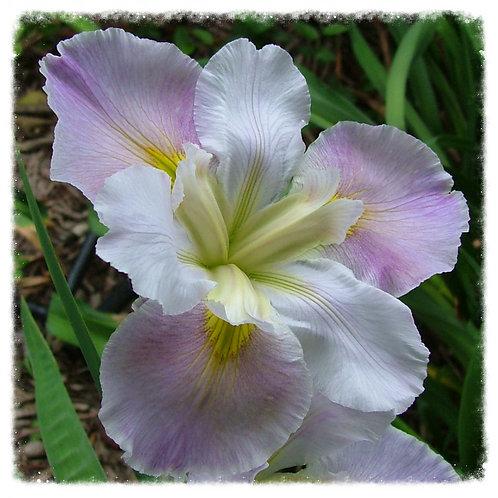 Iris Louisiana  'Just Imagine'