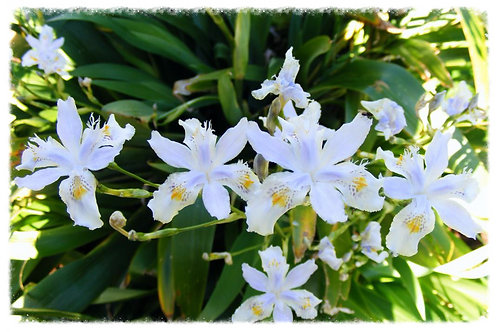 Iris Evansia hybrid 'Tomah Dancing Clouds'