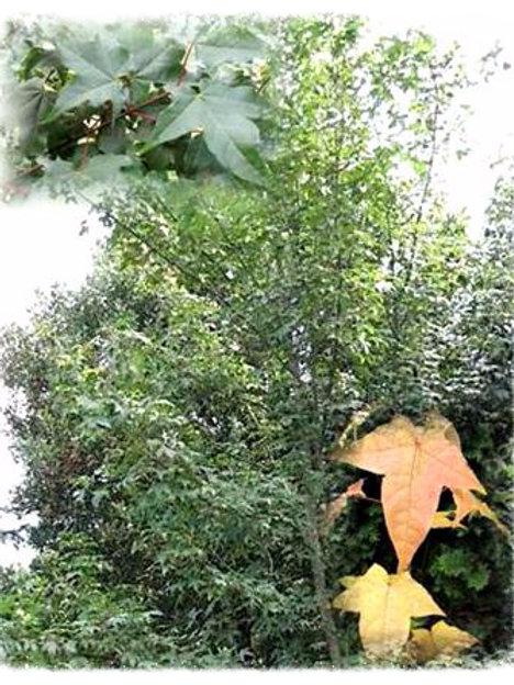 Acer cappadocicum subsp. sinicum