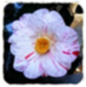 (Click image to view full size) A lovely variegated crimson white, medium growing, upright to spreading shrubs or small tree with oval, smaller glossy, tougher, dark leaves. A very remarkably hardy and vigorous growth habit forming a handsome, dense, small
