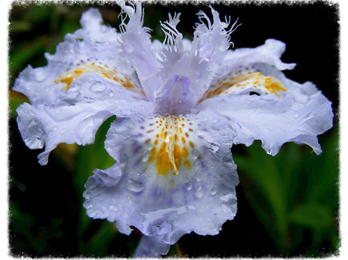 Evansia Iris japonica (Yunnan Form)