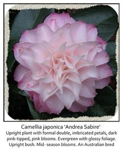 Camellia  japonica 'Andrea Sabire'