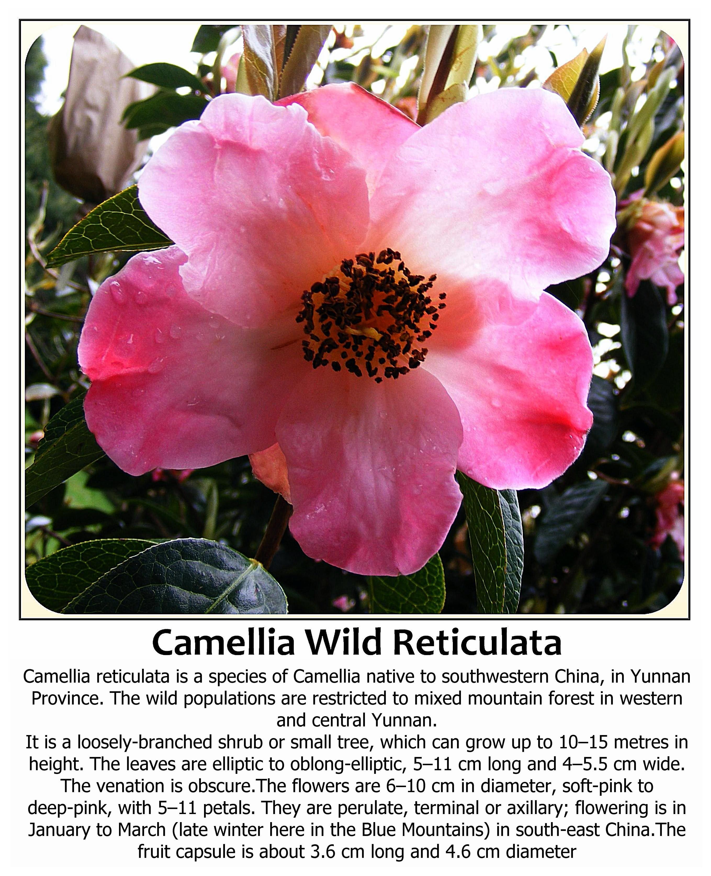 Camellia wild reticulata