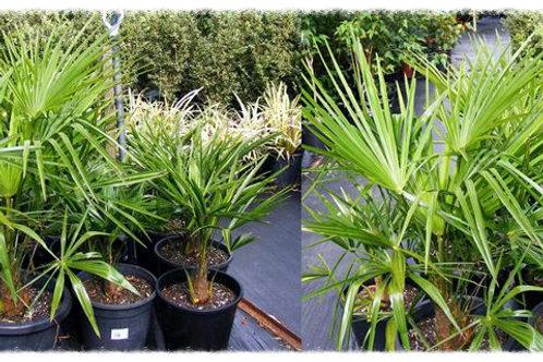 Trachycarpus fortunei 'Windmill Palm'