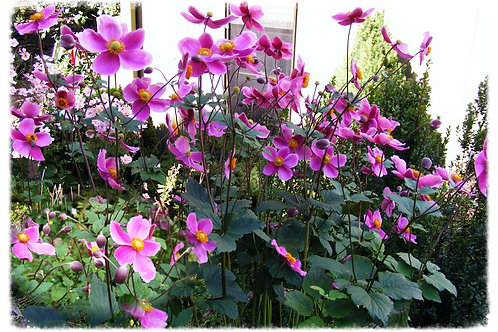Anemone 'Bowle's Pink'