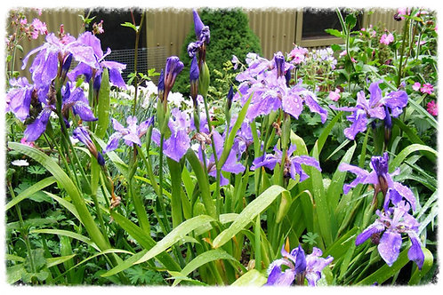 Evansia Iris tectorum 'Japanese Roof Iris'