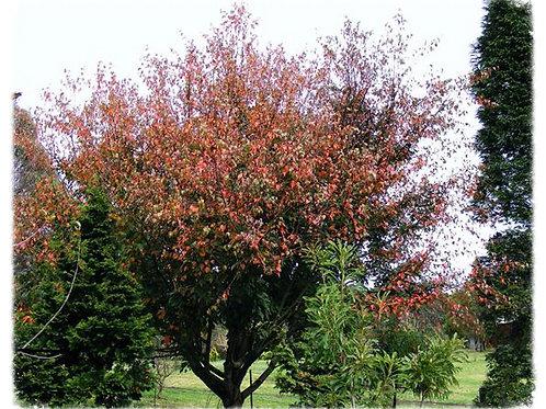 Acer rubescense formerly A. morrisonense