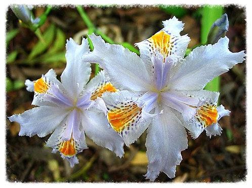 Evansia Iris japonica