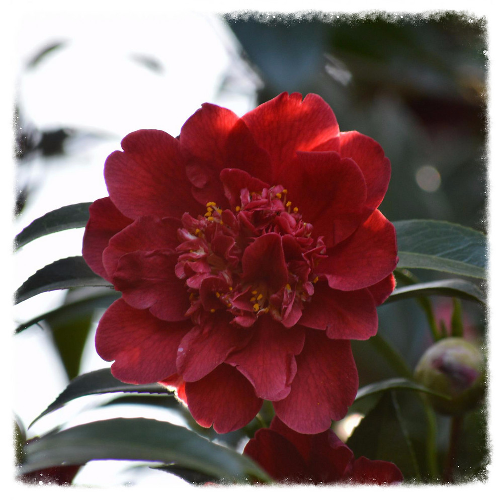About Camellias  Camellias are now completely finished flowering in Sydney and in other warmer areas but here in the Blue Mountains Camellia japonica, Reticulata, Rusticana 'Otome' and other hybrids are still in their full bloom. Camellias needs pruning every 2-3years if you want your Camellias to have a trim for r better flowering Craig Carroll is an expert in this task for more than 30 years doing this job around Sydney if you think your Camellias needs pruning he is happy to have it for you by contacting him in his contact numbers. If you have any problems with your Camellias he is happy to give you his advice & tips.
