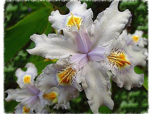Evansia hybrid Iris 'Tomah Smiles'
