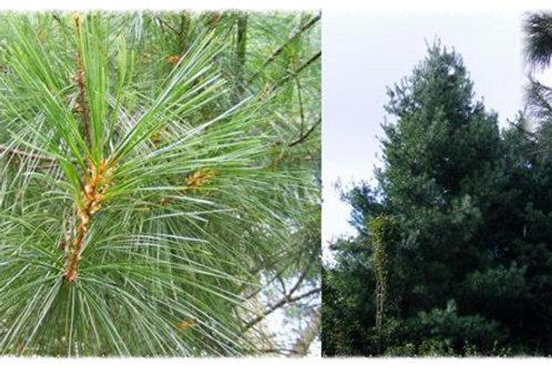 Pinus armandii 'Chinese White Pine'