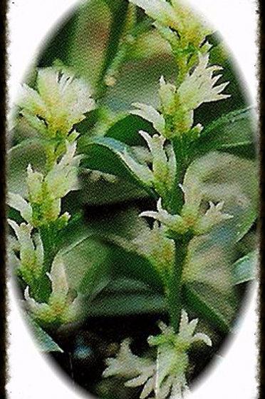 Sarcococca ruscifolia ' Fragrant Sweet Box'